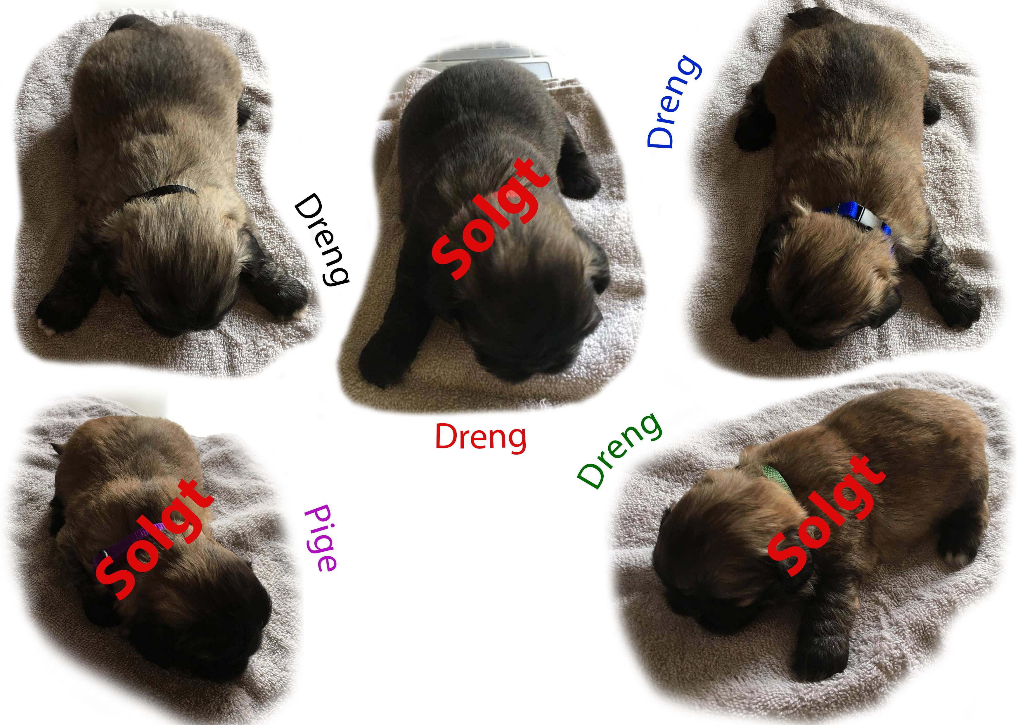 Pekingeser