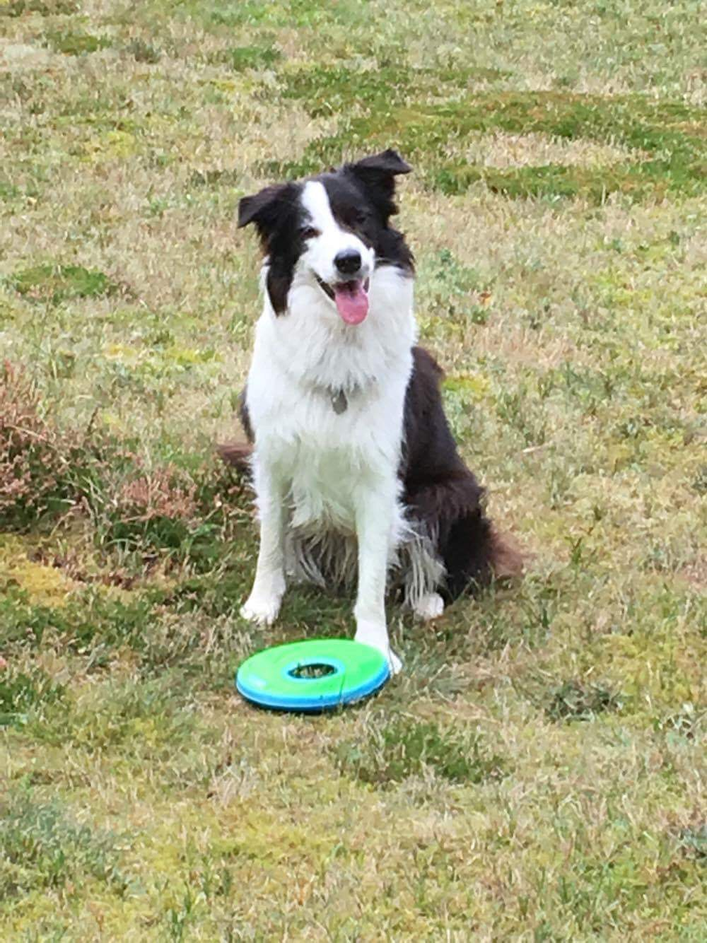 G And H Border Collies Border collie find din...