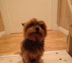 Yorkshire terrier
