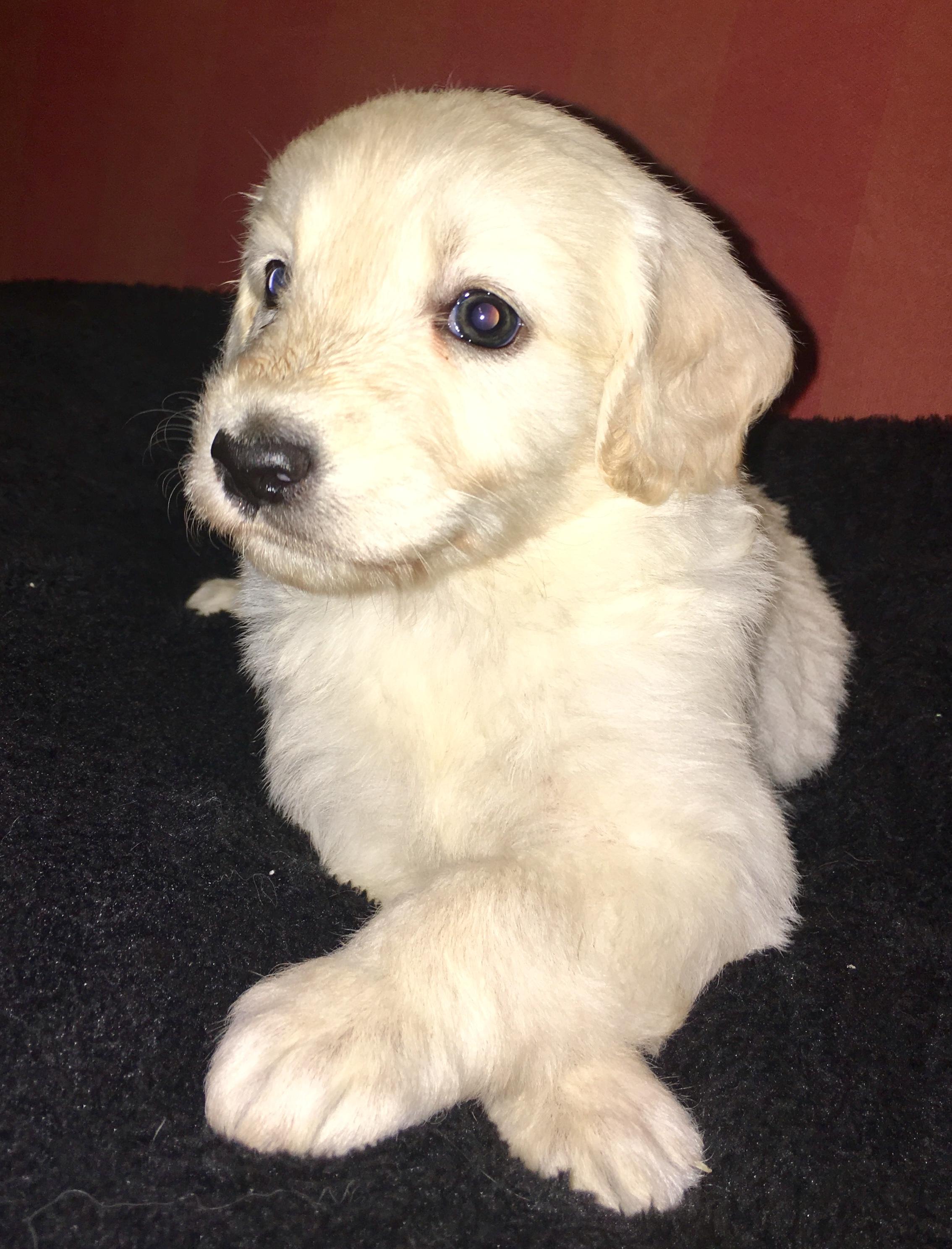 Hvid Schæferhund - Langhåret