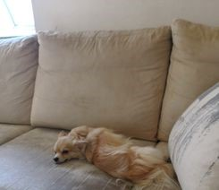 Chihuahua-korthåret