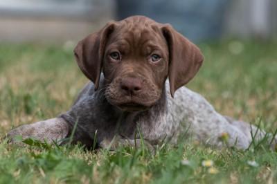 Spansk vandhund hvalpe til salg