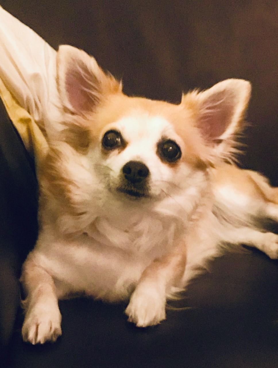 Chihuahua-langhåret