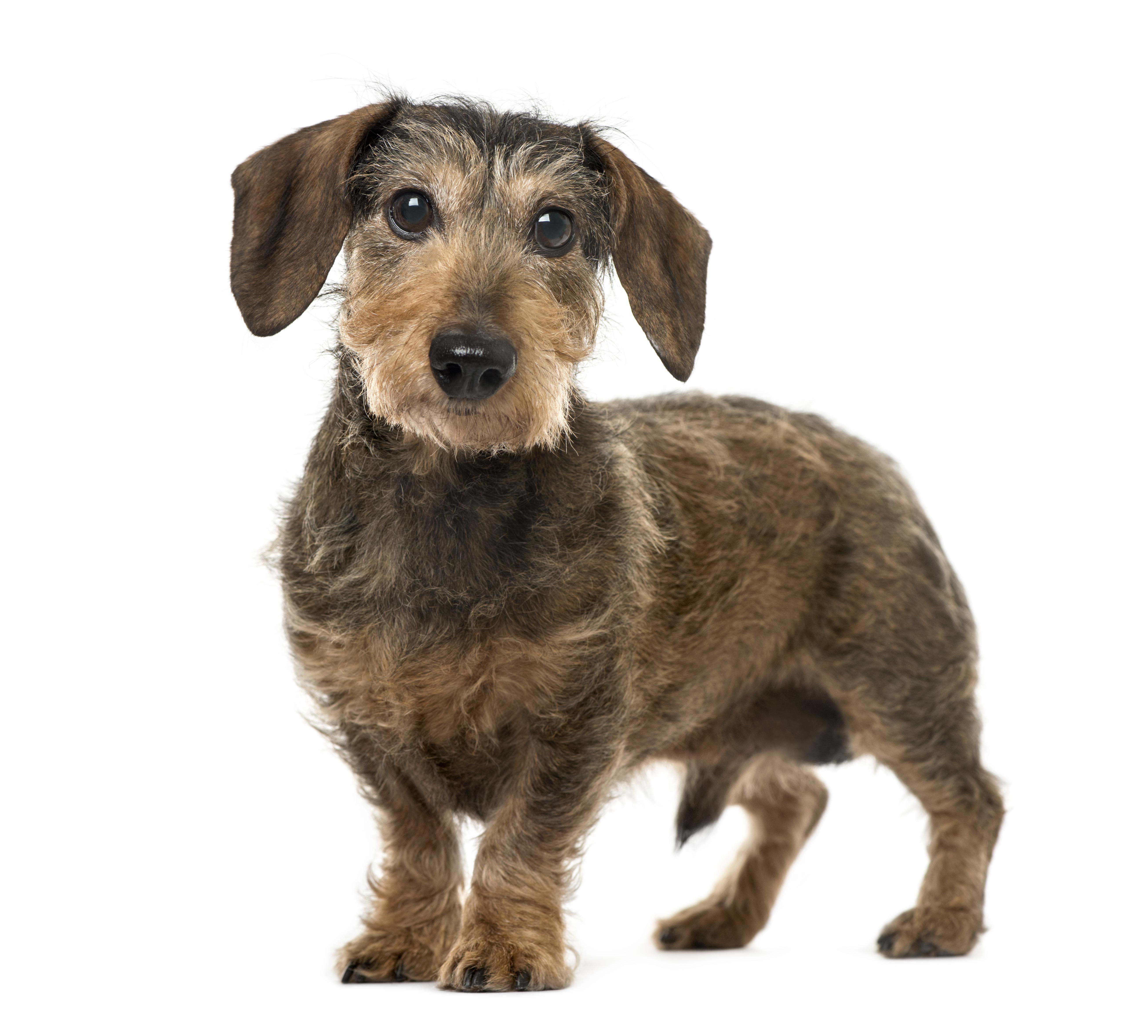 Ruhåret Gravhund, en lille stor hund.