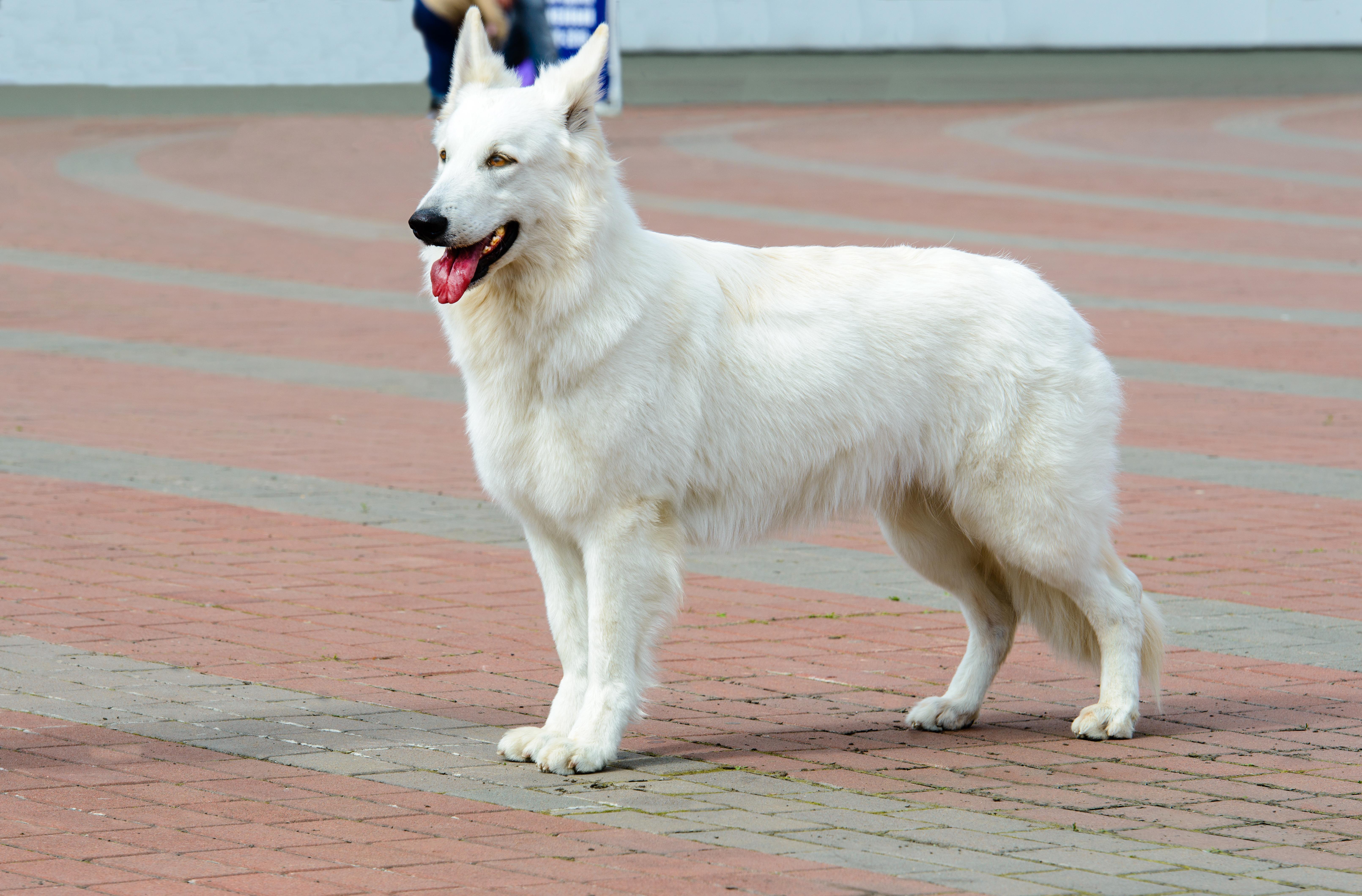 Hvid schæferhund