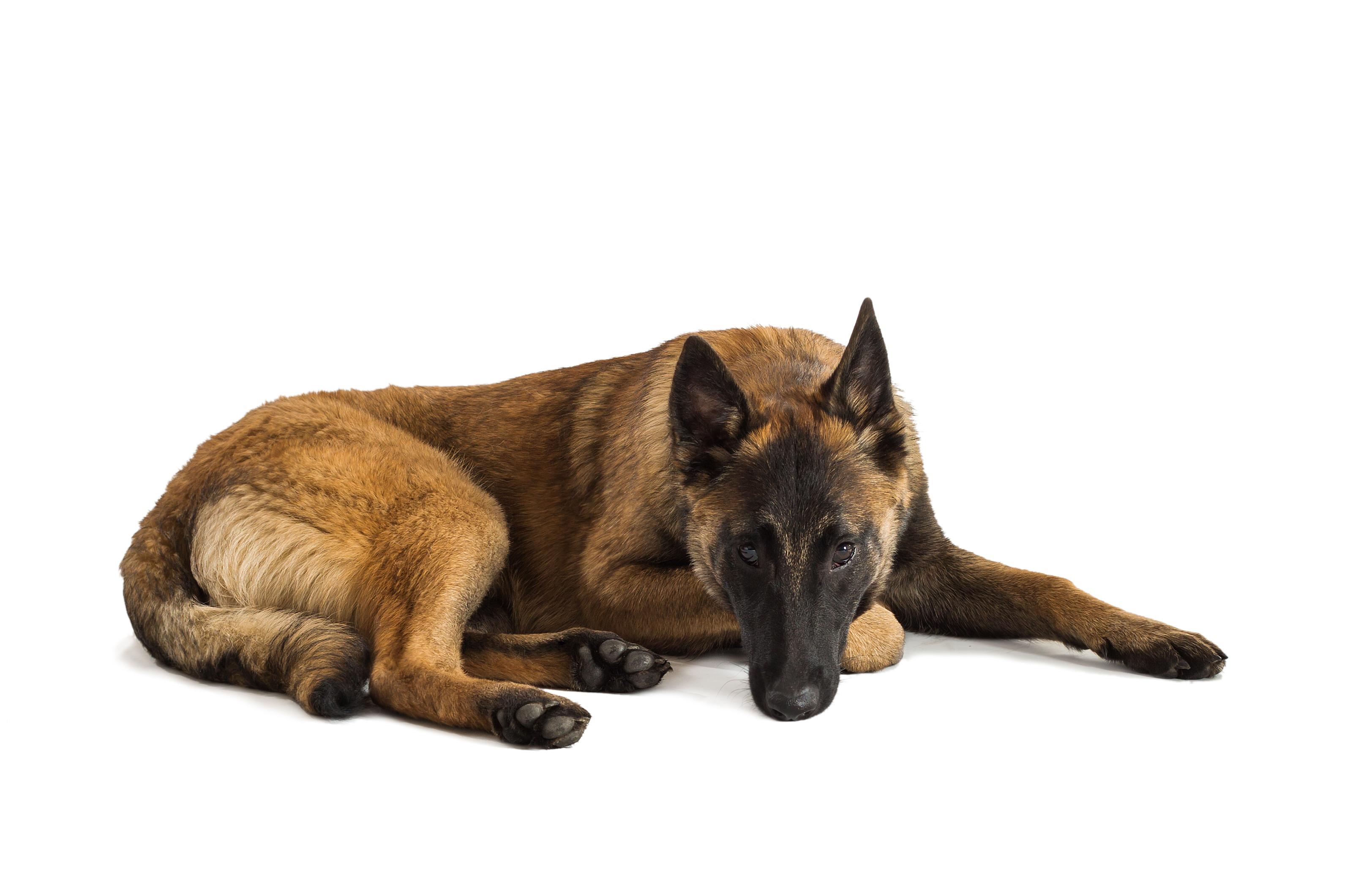 Højmoderne Belgisk Hyrdehund: Malinois. Arbejdshund fra byen Malinois YU-77